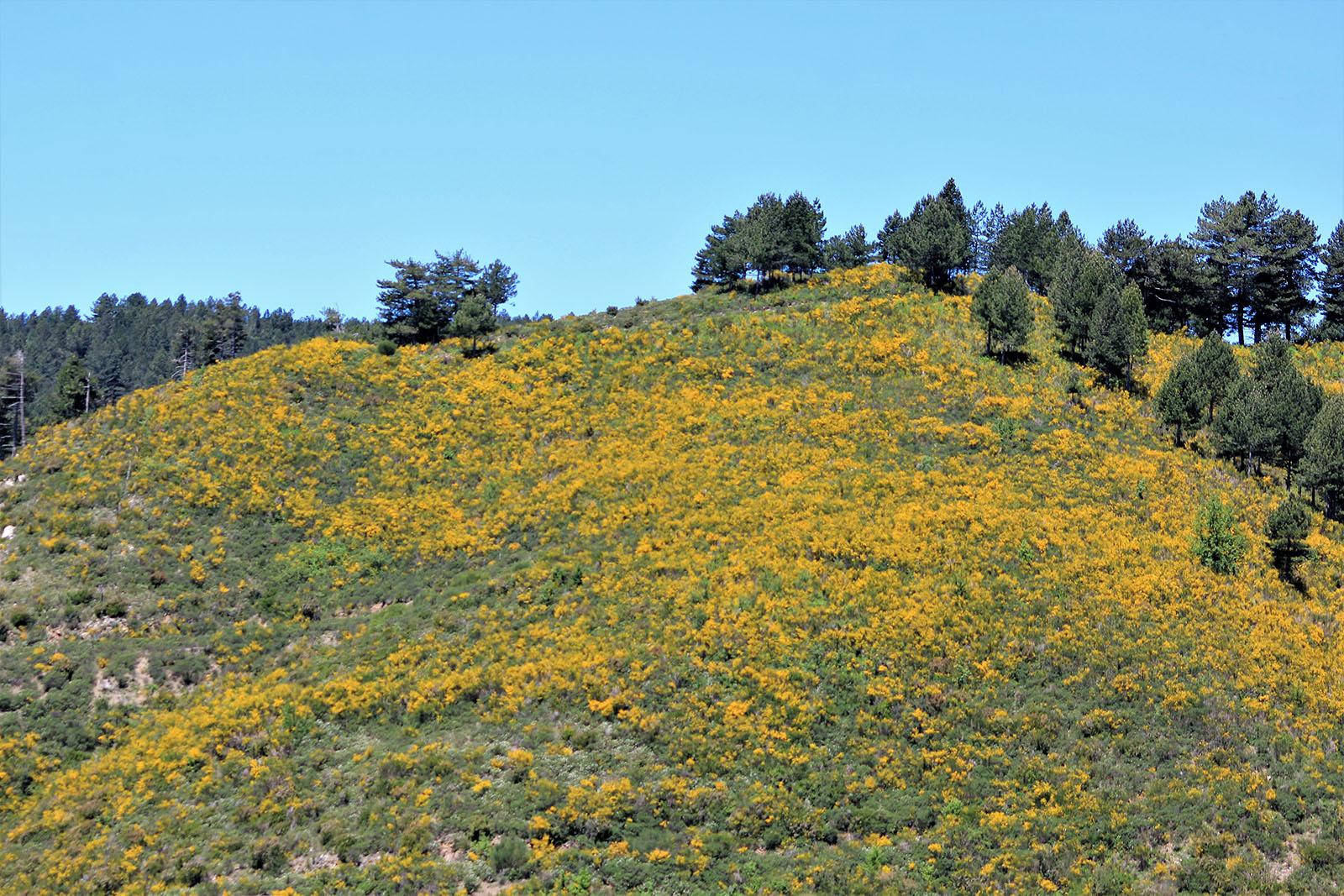 Ginetra fiorita sul sentiero