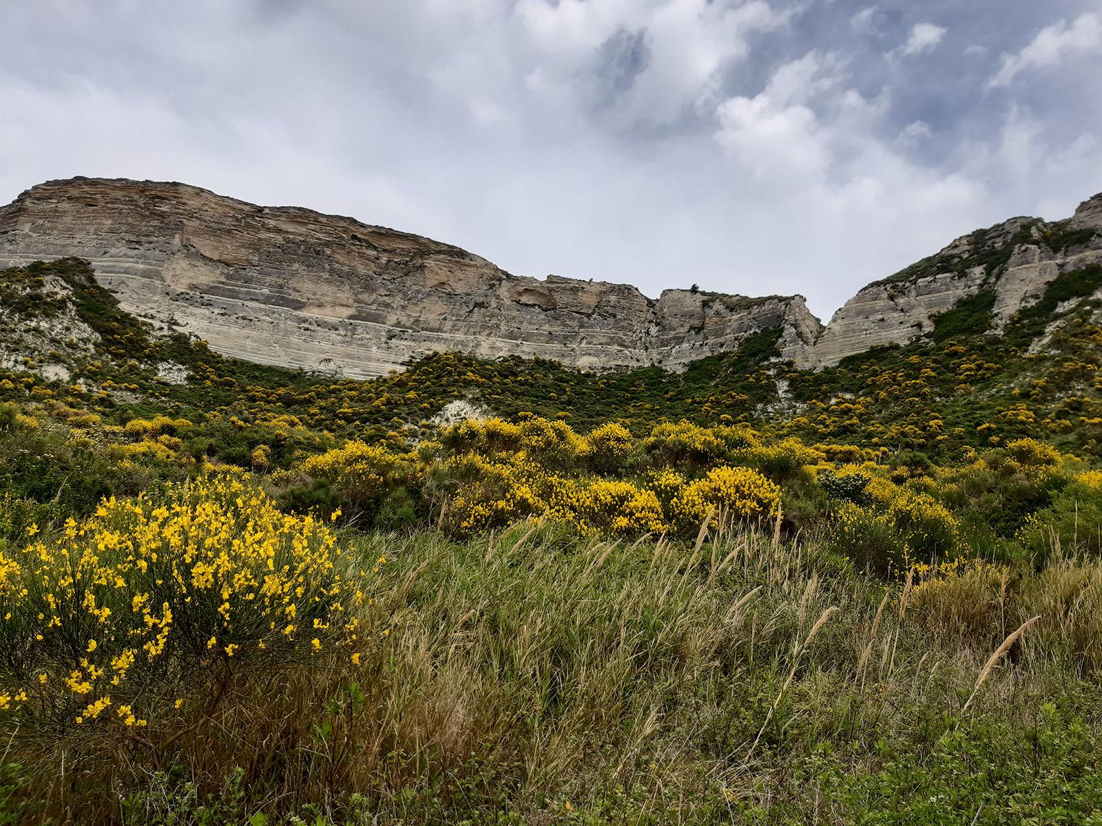 Ginestre a Monte Scifo