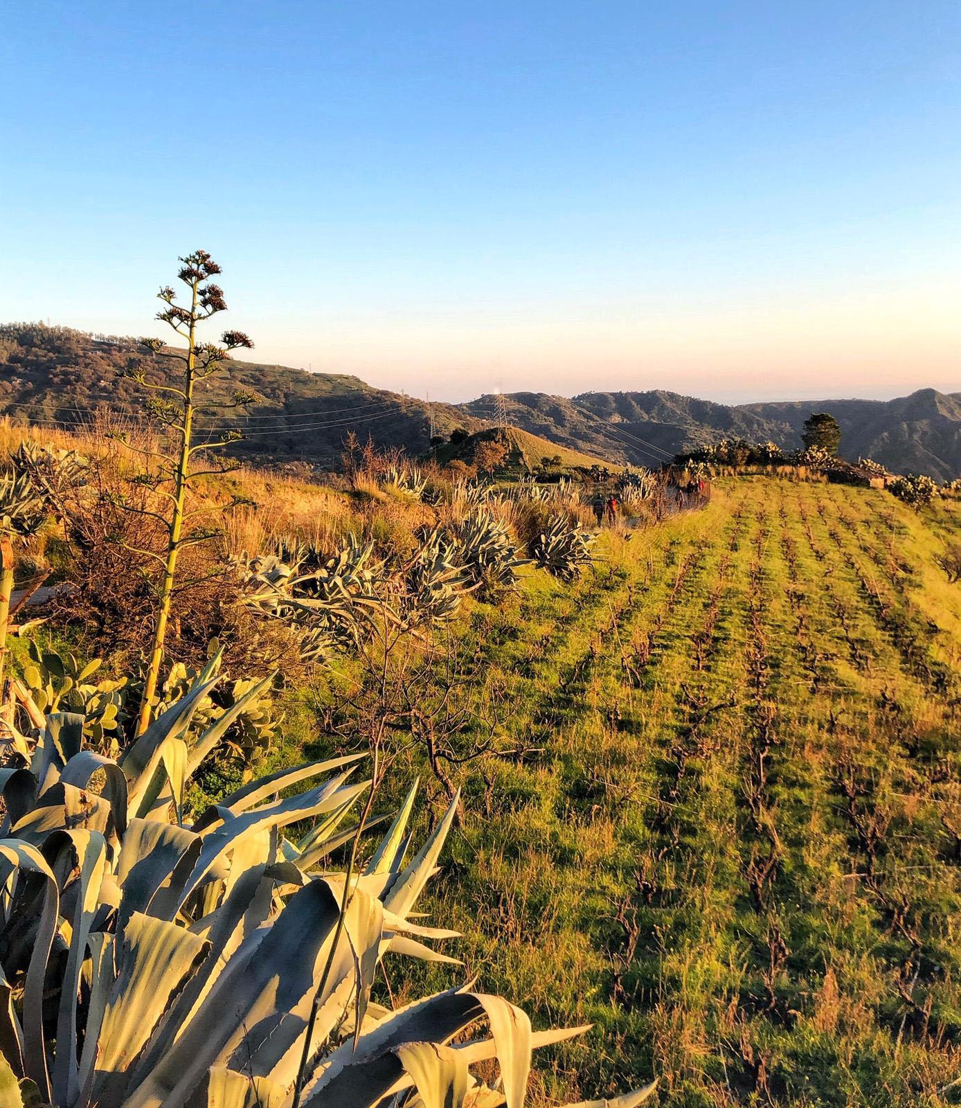 Piccolo vitigno ad Alberello